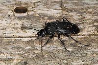 Großer Breitkäfer, Schwarzer Schulterläufer, Großer Brettläufer, Laufkäfer, Abax parallelepipedus, Abax ater, parallel-sided ground beetle