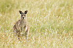 Eastern Grey Kangaroo (Macropus giganteus) juvenile in grassland, Mount Taylor Nature Reserve, Canberra, Australian Capital Territory, Australia