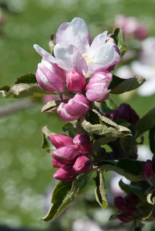 Blossom of cider apple 'Pennard Bitter', early May. A 19th century English bittersweet variety from West Pennard, near Shepton Mallet in Somerset.