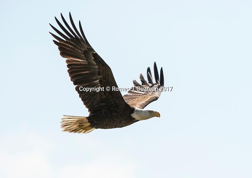 February 4, 2017: Bald Eagle (Haliaeetus leucocephalus) Joe Overstreet Landing, Kenansville, FL