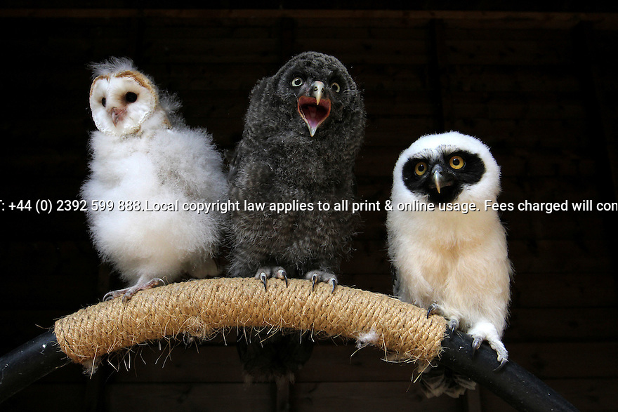 """26/07/11...L/R: Oscar (barn owl), Morgana (great grey owl), Bandit (spectacle owl)...Three owlets wait patiently to begin their flying career. The birds, who are so ugly only their mothers could possibly love them, will take to the air for the first time in the next few days..Once the birds are airborne it should only take six weeks to train them to fly. Then they will become the star Halloween attraction at Warwick Castle. Known collectively as a Wisdom or Parliament of owls, they will learn to flap around the ramparts in a display that will explore the folklore behind owls' spooky reputation..Falconer Chris O'Donnell, who runs Hawk Experience and trains the birds of prey at Warwick Castle said: """"They are all about six or seven weeks old and will start flying any day..""""Owls have been associated with death since Roman times when hearing the hoot of an owl indicated an imminent death..""""These three birds were all captive bred in the UK by friends of mine - they're very inquisitive at the moment - especially Morgana who's into everything."""".Ten Owl Facts:.1/ In ancient Greece, owls were often seen as a symbol of good fortune - the idea of the 'wise old owl' may have come into being from the association of the Little Owl with the Greek goddess of wisdom, Athene..2/ Owls are one of the oldest species of vertebrate animal in existence, fossils have been found dating back 60 million years, showing the bird to have changed very little in that time.3/In Malaya it was believed that owls ate new-born babies, the Swahili believed that owls brought sickness to children, in Arabia it was believed that owls were evil spirits that carried children off in the night..4/In Arabia it was thought that each female owl laid two eggs - one with the power to make hair fall out, the other with the power to restore it..5/In Algeria, it was believed that if the right eye of an Eagle Owl was placed in the hand of a sleeping woman, that she would tell everything you wanted to know.6/In Yorkshire"""