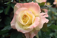 Rosa 'Summer Fashion' floribunda rose, pink and yellow, ooks like Diana, Princess of Wales HT rose, pink and yellow cream picotee