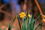 A87DG6 Wild woodland daffodils Suffolk England