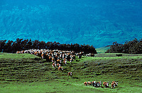 Cowboys working the cattle herd on Parker Ranch with ocean in background, Waimea (Kamuela), Island of Hawaii