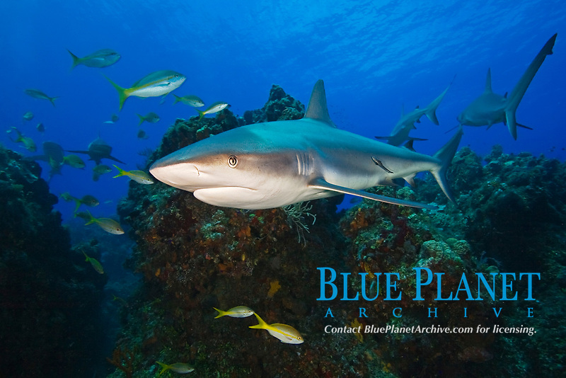 Caribbean Reef Sharks, Carcharhinus perezii, and yellowtail snappers, Ocyurus chrysurus, swimming over coral reef ledges, West End, Grand Bahama, Bahamas, Caribbean, Atlantic Ocean