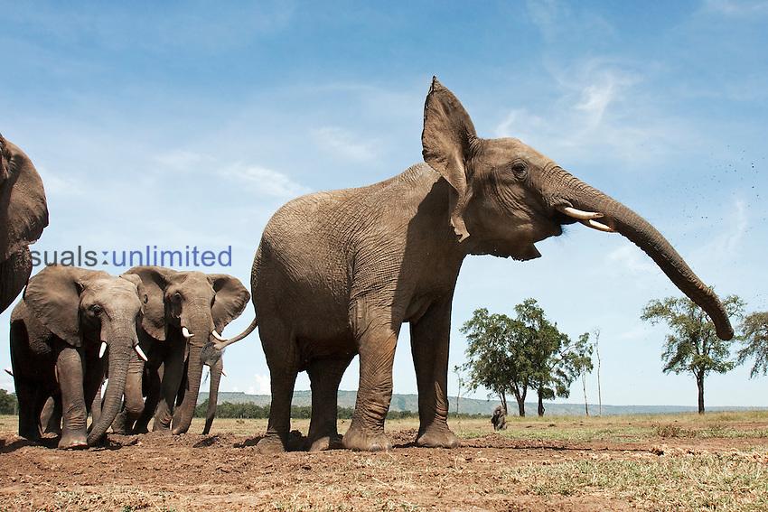 African Elephants herd at waterhole (Loxodonta africana), Masai Mara, Kenya.