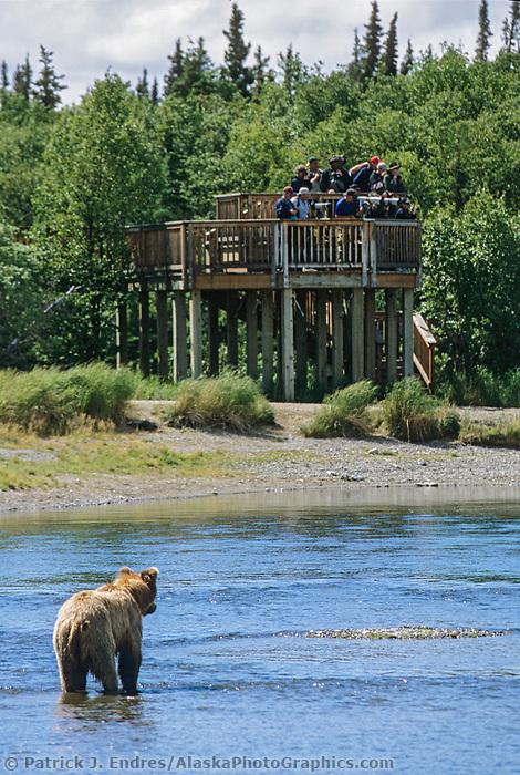 Coastal brown bear walks across the Brooks river while tourists watch from a top of a bear observatory deck, Katmai National Park, Alaska.
