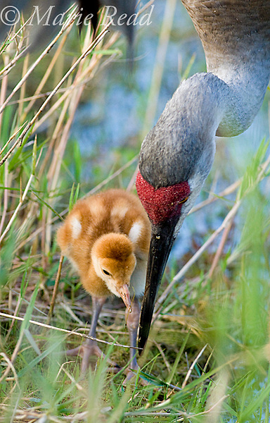 Sandhill Crane (Grus canadensis), Florida race, adult feeding chick close-up, Orlando, Florida, USA
