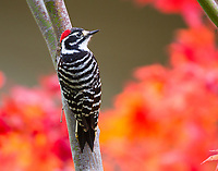 Nutall's Woodpecker, Picoides nuttallii