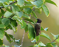 Black-chinned male in a brief respite, after a day of rain.