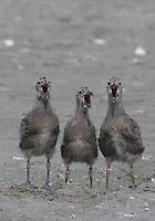 Herring Gulls; Larus argentatus; Stone Harbor, NJ