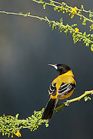 561850048 a wild audubon's oriole icterus graduacauda perches on a plant stem on santa clara ranch hidalgo county rio grande valley texas united states