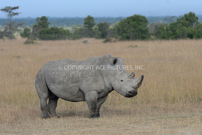 WWW.ACEPIXS.COM<br /> February 29, 2016 New York City<br /> <br /> Southern White rhinoceros seen in Sweetwaters Game Reserve Ol Pejeta Conservancy on February 29, 2016 in Kenya.<br /> <br /> Credit: Kristin Callahan<br /> web: http://www.acepixs.com