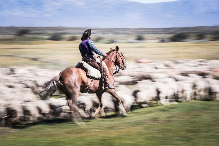 Gauchos riding horses to round up sheep, El Chalten, Patagonia, Argentina