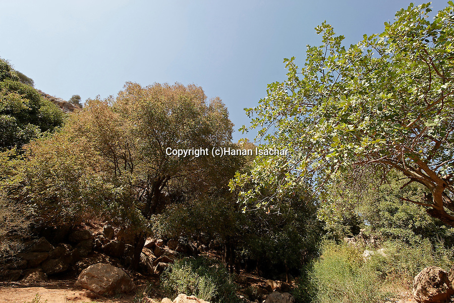 Israel, the Lower Galilee. Elm tree in Wadi Tzalmon..