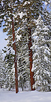 Okanogan National Forest, WA<br /> Towering ponderosa pine (Pinus ponderosa) in a winter snow covered forest