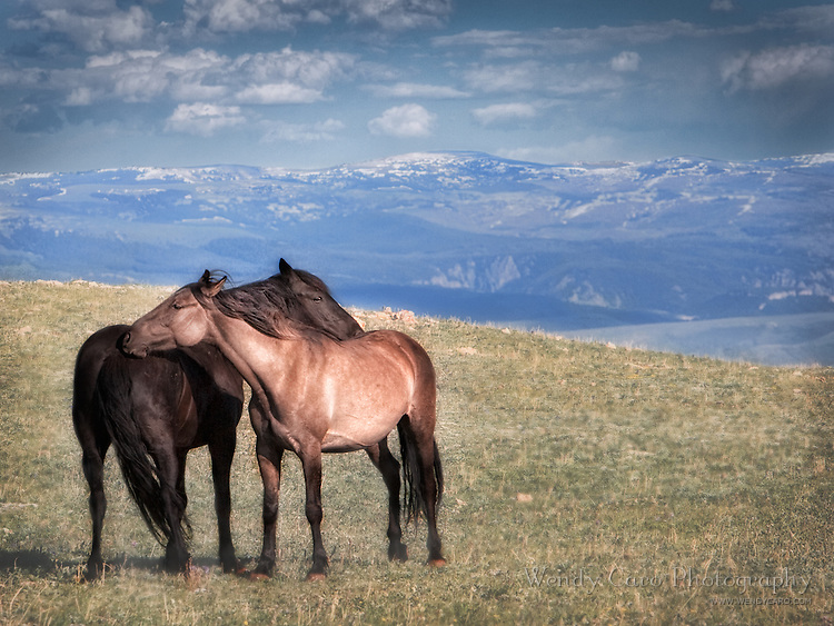 Two bachelors grooming, oblivious to their environment, Pryor Mountains; Wyoming
