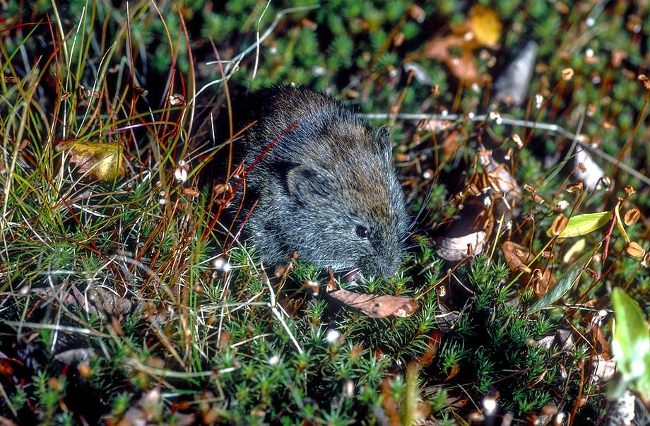 Rosgrijze woelmuis (Clethrionomys rufocanus)