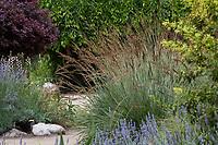 Fescue grass (Festuca ) flowering in Kallam Perennial Garden, Los Angeles County Arboretum