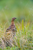 Adult Willow Ptarmigan, Denali National Park, Alaska