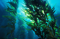 ld4120. Giant Kelp (Macrocystis pyrifera) forest. California, USA, Pacific Ocean..Photo Copyright © Brandon Cole. All rights reserved worldwide.  www.brandoncole.com..This photo is NOT free. It is NOT in the public domain. This photo is a Copyrighted Work, registered with the US Copyright Office. .Rights to reproduction of photograph granted only upon payment in full of agreed upon licensing fee. Any use of this photo prior to such payment is an infringement of copyright and punishable by fines up to  $150,000 USD...Brandon Cole.MARINE PHOTOGRAPHY.http://www.brandoncole.com.email: brandoncole@msn.com.4917 N. Boeing Rd..Spokane Valley, WA  99206  USA.tel: 509-535-3489