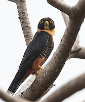 The Bat falcon has to be one of the coolest-looking raptors.  This is the first one I've ever seen up close.