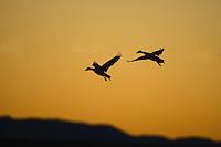 Snow Goose - Chen caerulescens