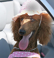 Gary Wilcox/Staff... 06/20/07...One-year-old Standard Poodle named Scarlet Rose getting sun in her owner's  Michelle WatsonÕs  BMW convertible at Jacksonville Beach...