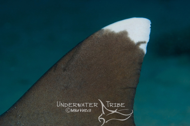 White tip reef shark dorsal fin, Triaenodon obesus, Yap, Federated States of Micronesia, Pacific Ocean