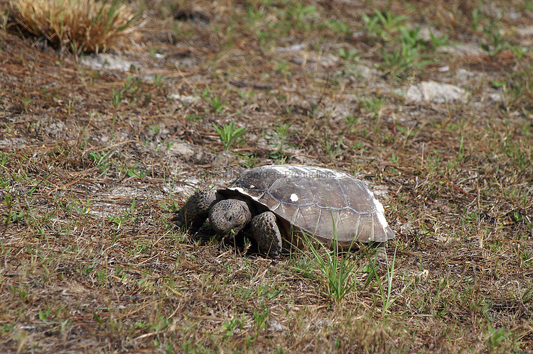 This gopher tortoise grabs a bite on the run as he heads back to his burrow.  The tortoises are listed as endangered in Florida due to habitat loss.