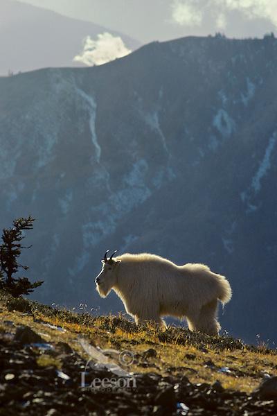 Mountain Goat (Oreamnos americanus) billy standing on subalpine hillside.  Pacific Northwest.  Fall.