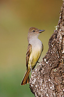 Brown-crested Flycatcher, Myiarchus tyrannulus ,adult,  Cameron County, Rio Grande Valley, Texas, USA, May 2004