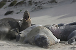 Molting elephant seal bulls