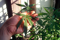 Pianta di Marijuana. Plant of Marijuana...