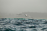 Gibson's Albatross (Diomedea antipodensis gibsoni) gliding over ocean, Kaikoura, South Island, New Zealand