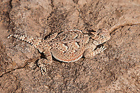 437800001 a wild southern desert horned lizard phrynosoma platyrhinos calidiarum found along chalk bluffs road in owens valley inyo county california united states