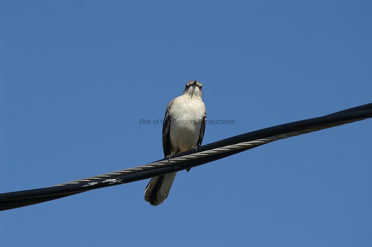 A mockingbird looks over the world.