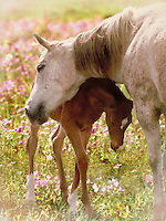 Arabian mare leans over and nuzzles foal in field of wild phlox. Vertical. horse, horses, photo montage, animals, special effects.