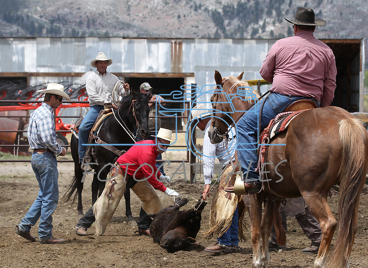 A group of Carson Valley ranchers work calves Saturday, May 21, 2011, in Gardnerville, Nev. .Photo by Cathleen Allison