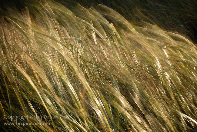 Beach grass, Oregon