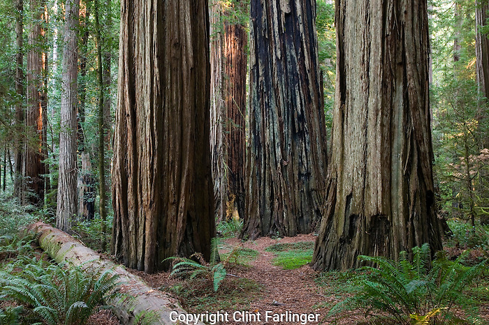 Redwoods in Stout Grove, Jedediah Smith Redwoods State Park, California