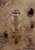0214-08zz  Standing Meerkat on Lookout, Suricata suricatta © David Kuhn/Dwight Kuhn Photography