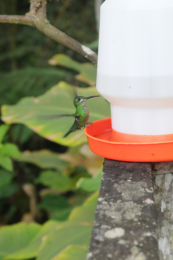 Large hummingbird in the cloud forest near Mindo, Ecuador