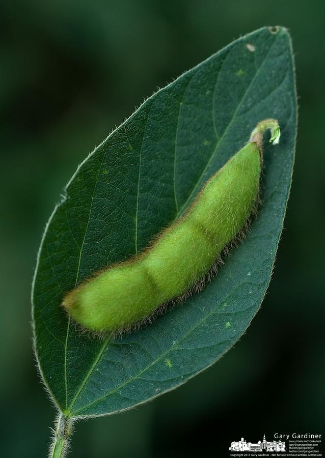 Soybean on a soybean leaf on a farm near Delaware, Ohio.<br />