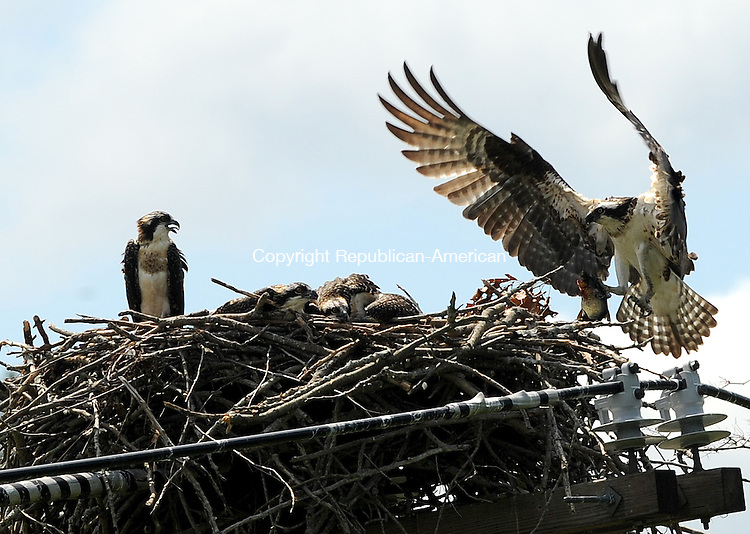 BEACON FALLS, CT-06 JULY 2012--070612JS07- A female osprey bring in a fish to her nest near the Naugatuck River in Beacon Falls on Friday..Jim Shannon Republican-American