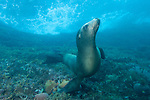 Sea of Cortez, Baja California, Mexico; a California Sea Lion (Zalophus californianus) sitting on the sea floor, underwater