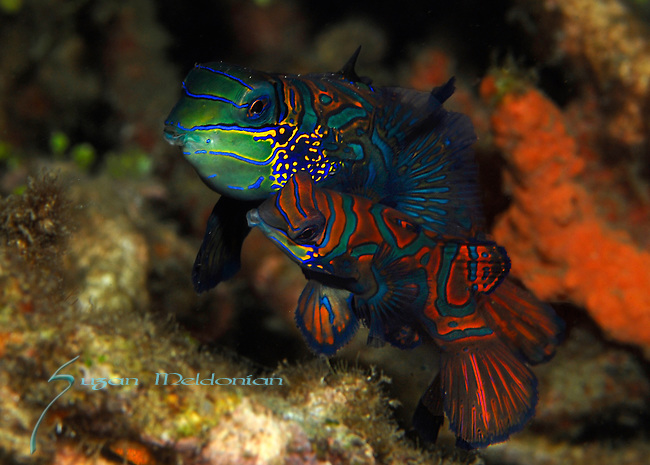 Mating Mandarinfish pair, Synchiropus splendidus, Lembeh Straits, Sulawesi Sea, Indonesia, Amazing Underwater Photography
