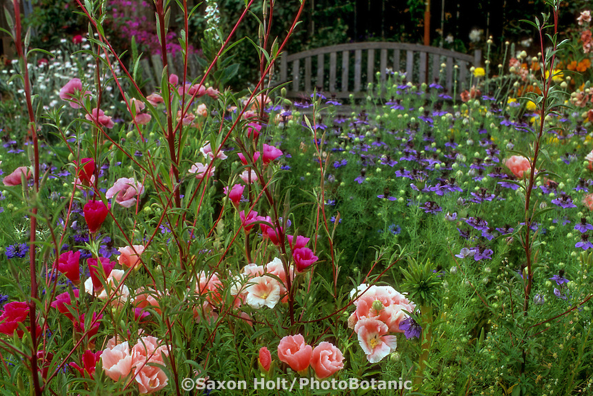 Spring garden with annual flowers, Clarkias, 'Aurora' (pink) and 'Charmine' (red), and blue Nigella; annual flowers in water-wise garden