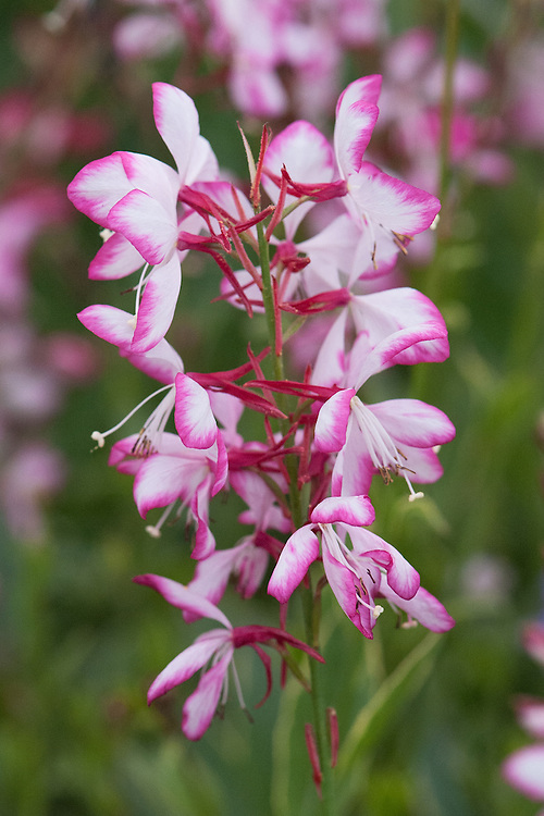 Gaura lindheimeri 'Freefolk Rosy', shortlisted for Plant of the Year at the RHS Chelsea Flower Show, 2014.