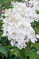 Hydrangea paniculata 'White Diamond'
